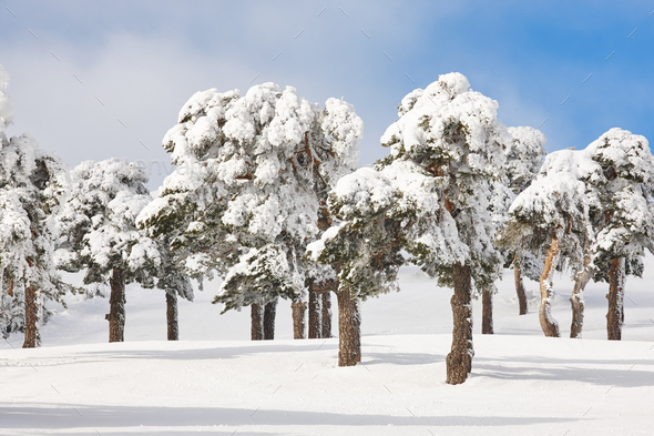Snowy forest landscape in winter time. Navacerrada, Madrid, Spain. Scenery - Stock Photo - Images