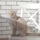 Scottish Fold Cat Sitting on a White Chair and Looking at the Camera - VideoHive Item for Sale