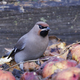 Bohemian waxwing (Bombycilla garrulus) - PhotoDune Item for Sale