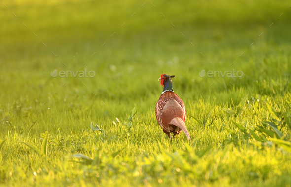 Wild pheasant in a lawn - Stock Photo - Images