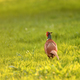 Wild pheasant in a lawn - PhotoDune Item for Sale