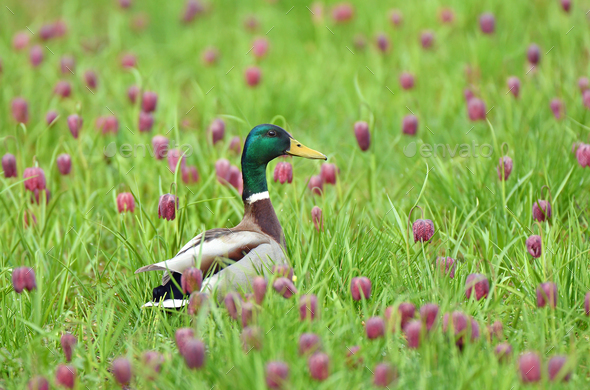 Dabbling duck amongst snakes head fritillary flowers - Stock Photo - Images