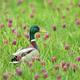 Dabbling duck amongst snakes head fritillary flowers - PhotoDune Item for Sale