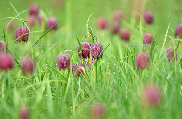 Snakes head fritillary flowers in a field - Stock Photo - Images
