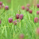 Snakes head fritillary flowers in a field - PhotoDune Item for Sale