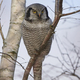 Northern hawk-owl (Surnia ulula) - PhotoDune Item for Sale