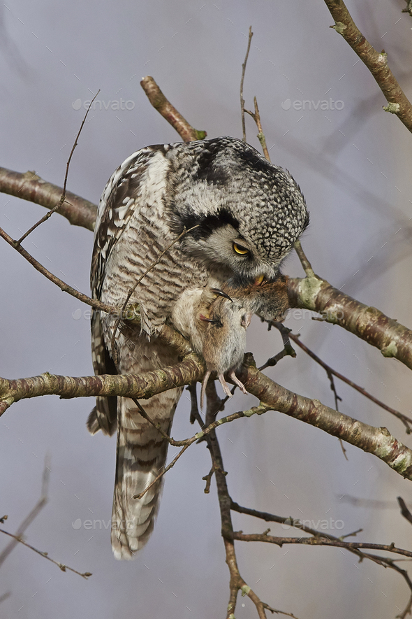 Northern hawk-owl (Surnia ulula) - Stock Photo - Images