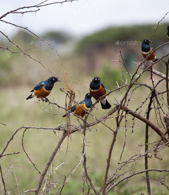 Superb starlings in Kenya. - Stock Photo - Images
