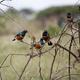 Superb starlings in Kenya. - PhotoDune Item for Sale