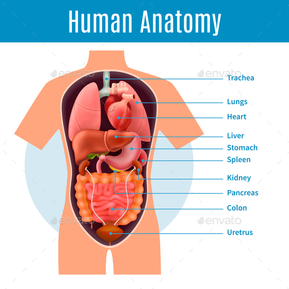 Human Anatomy Poster - Miscellaneous Vectors
