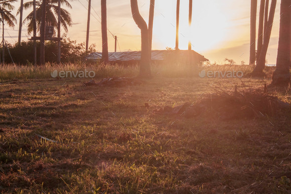 Coconut plantation at sunrise - Stock Photo - Images