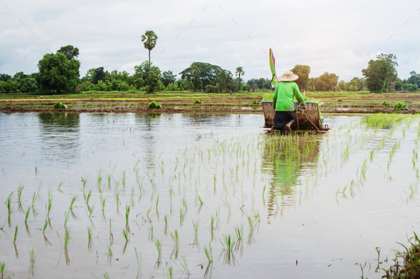 Farmers are planting rice on fields - Stock Photo - Images