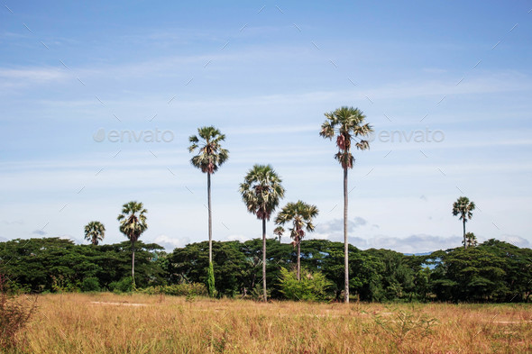 Palm tree with grassland with sky - Stock Photo - Images