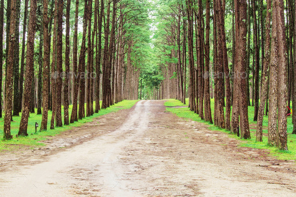 road to the pine forest - Stock Photo - Images