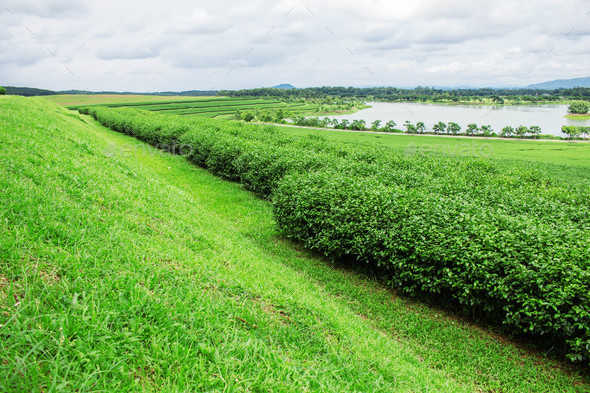 tea farm with sky background - Stock Photo - Images