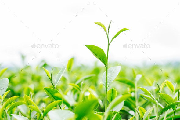young tea leaves on white background - Stock Photo - Images