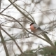 Male Bullfinch Sitting on the Branch in Winter Forest - VideoHive Item for Sale
