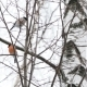 Flock of Bullfinches Sitting on the Branches Under the Snow. Bright Birds in Winter Forest. - VideoHive Item for Sale