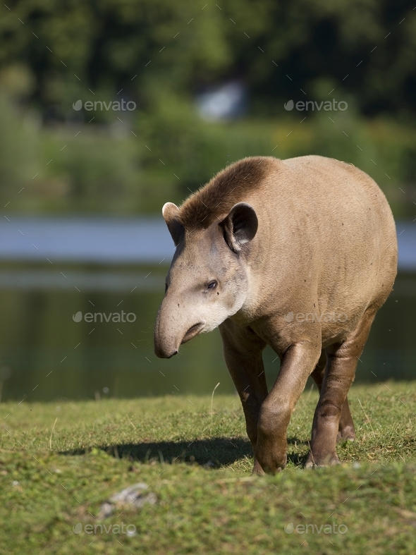 Tapir in a clearing  - Stock Photo - Images