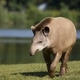 Tapir in a clearing  - PhotoDune Item for Sale