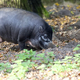 Visayan Warty Pig in the forest  - PhotoDune Item for Sale