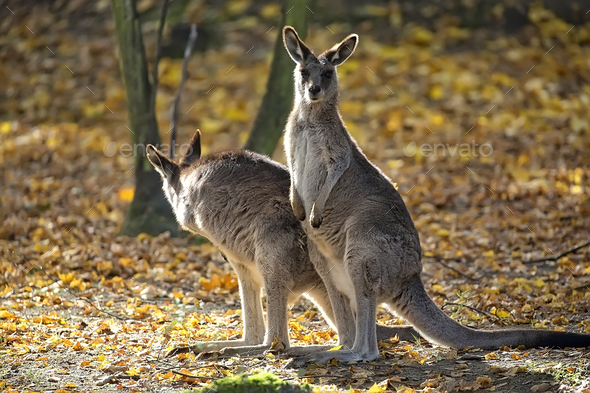 Eastern Grey Kangaroo in a clearing  - Stock Photo - Images