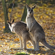 Eastern Grey Kangaroo in a clearing  - PhotoDune Item for Sale