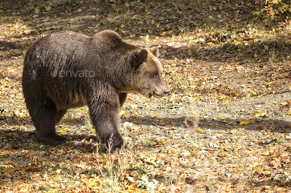 Brown bear in a clearing  - Stock Photo - Images
