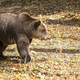 Brown bear in a clearing  - PhotoDune Item for Sale