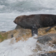 Seal on Rocky Coast - VideoHive Item for Sale