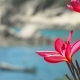 of Bright Red Blossom Plumeria Flowers in Front of the Ocean Bay with Some Huge Granite Rocks and - VideoHive Item for Sale