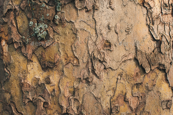 Maple tree bark crust - Stock Photo - Images