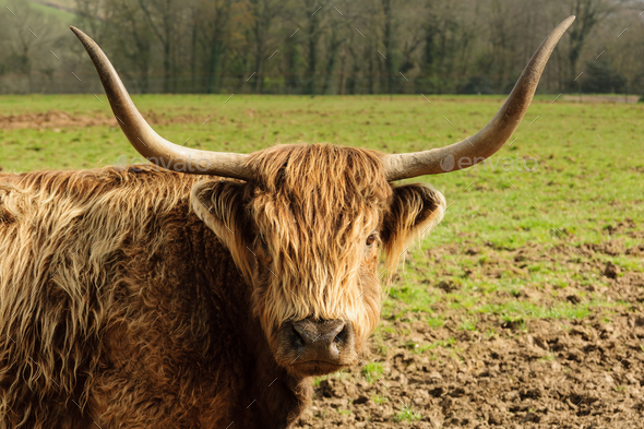 Highland Cattle - Stock Photo - Images