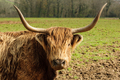 Highland Cattle - PhotoDune Item for Sale