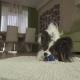 Dog Papillon Playing with a Ball on a Rug in Living Room - VideoHive Item for Sale