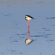 black winged stilt - PhotoDune Item for Sale