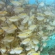 School of Reef Fish and Scuba Diver Swimming Under Pier on Arborek Island in the Raja Ampat Islands - VideoHive Item for Sale