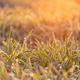 dew on grain leaves - PhotoDune Item for Sale