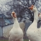 A Flock of Domestic Geese in the Village. Geese in the Russian Outback. Eastern Europe, - VideoHive Item for Sale
