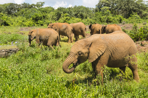 Baby Elephants in Nairobi National Park, Kenya - Stock Photo - Images