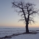 Solitary Maple Tree in Winter Landscape - VideoHive Item for Sale