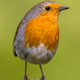 Cute red robin vivid green background - PhotoDune Item for Sale