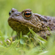 Headshot Portrait of a Common toad - PhotoDune Item for Sale