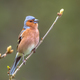 singing Chaffinch perched on a branch - PhotoDune Item for Sale
