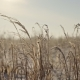 Dry Coastal Reed Cowered with Snow, Nature Background - VideoHive Item for Sale