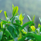 Spring tea leaves growth on trees - PhotoDune Item for Sale