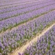 Purple Hyacinth Field in Netherlnds. Drone - VideoHive Item for Sale