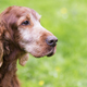 Beautiful old Irish Setter dog - PhotoDune Item for Sale