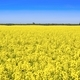 A yellow field of Colza - PhotoDune Item for Sale