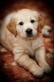Beautiful puppy of Golden Retriever - PhotoDune Item for Sale